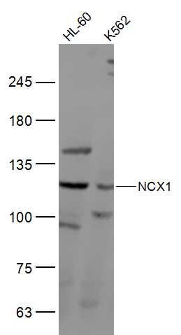 Western blot analysis of human HL-60, K562, cell lysate using  NCX1 antibody