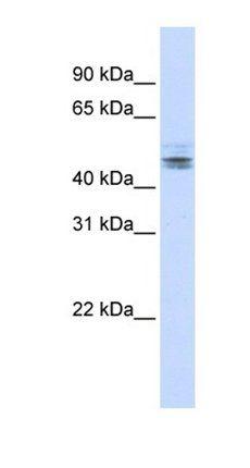 Western blot analysis of human brain tissue using NELFE antibody