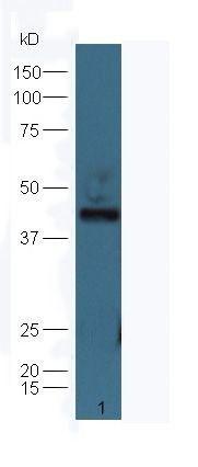 Western blot analysis of line1,Mouse brain tissue using NeuN antibody.