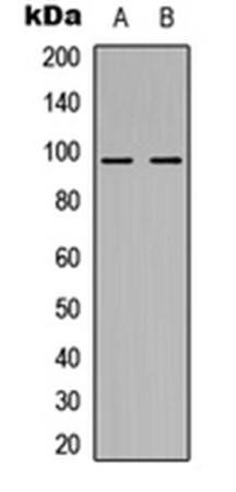 Western blot analysis of HEK293T (Lane1), H9C2 (Lane2) whole cell using NOM1 antibody