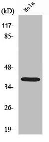 Western blot analysis of COS7 cells using NPM1 antibody