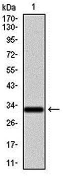 Western blot analysis of human recombinant protein using NR6A1 antibody
