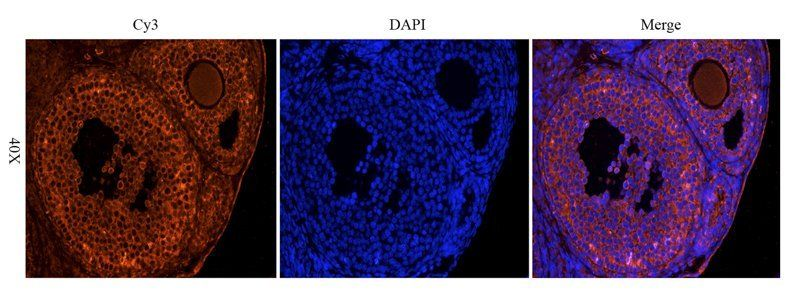 IF image of mouse ovary tissue using OPG antibody (primary antibody at 1:200)