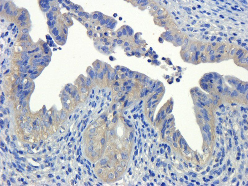 IHC-P image of mouse ovary tissue using anti-OPG (dilution of primary antibody at 1:200)