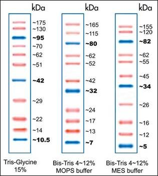 SDS-PAGE analysis of Opti-Protein Marker