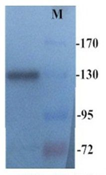 Western blot analysis of mouse spleen tissue using CD45 antibody(Dilution at 1:500)