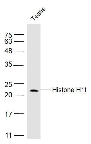 WB analysis of mouse testis lysate using Histone H1 antibody