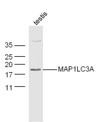Western blot analysis of Testis (Mouse) Lysate using LC3 antibody.