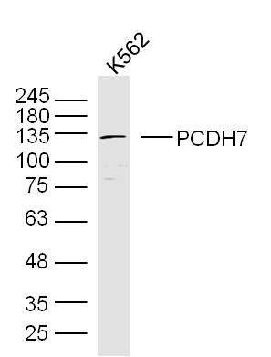 Western blot analysis of human K562 cell Lysate using PCDH7 antibody.
