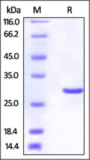 SDS-PAGE analysis of Human UCH-L3 protein