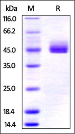 SDS-PAGE analysis of Human CD3 epsilon & CD3 gamma Heterodimer protein