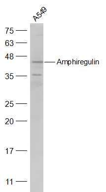 Western blot analysis of A549(Human) Cell Lysate using Amphiregulin antibody.