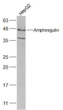 Western blot analysis of HepG2(Human) Cell Lysate using Amphiregulin antibody.