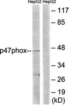 Western blot analysis of extracts from HepG2 cells using p47 phox antibody