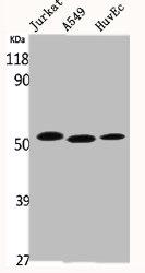 Western blot analysis of Jurkat A549 HuvEc cells using p53 antibody