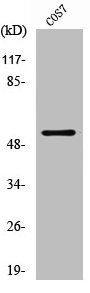 Western blot analysis of COS7 cells using p53 antibody