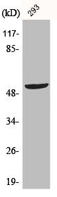 Western blot analysis of 293 cells using p53 antibody