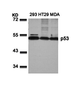 Western blot analysis of p53(Ab-9) antibody in 293, HT29 and MDA cells lysate