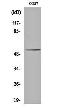 Western blot analysis of COS7 cell lysates using p53 antibody