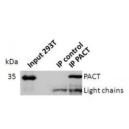 Western blot analysis of PACT antibody