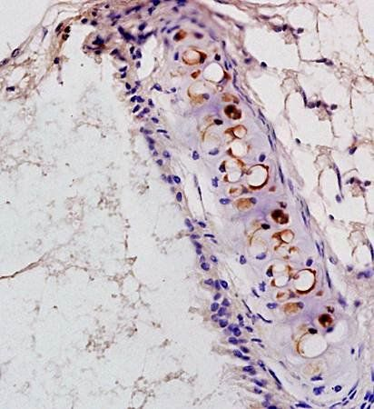 IHC-P of rat heart tissue (PAF Receptor antibody at 1:300)