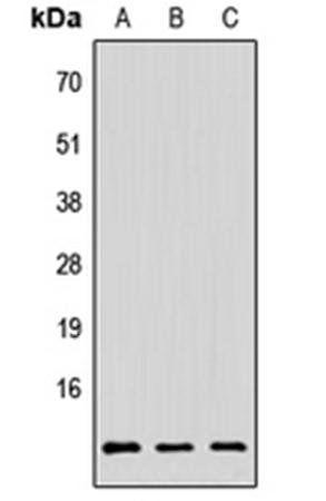 Western blot analysis of HeLa (Lane1), Raw264.7 (Lane2), H9C2 (Lane3) whole cell using PAGE3 antibody