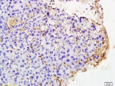 Immunohistochemical staining of rat pancreas tissue using PAR4 antibody.