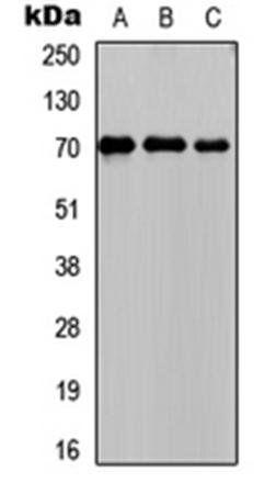 Western blot analysis of HeLa (Lane1), Raw264.7 (Lane2), rat intestine (Lane3) whole cell using PCK1 antibody