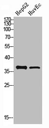 Western blot analysis of HepG2 HuvEc cells using PCNA antibody