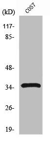 Western blot analysis of COS7 cells using PCNA antibody