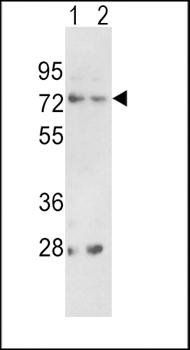 Western blot analysis of in 293(lane 1), K562(lane 2) cell line lysates (35ug/lane)using PCSK2 antibody (primary antibody dilution at: 1:1000)