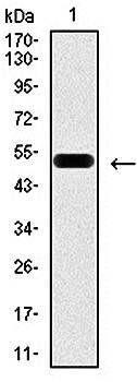 Western blot analysis of human (AA: 39-283) recombinant protein using PDX1 antibody