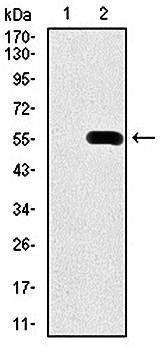 Western blot analysis of HEK293 (Lane1) and PDX1 (AA: 39-283)-hIgGFc transfected HEK293 (Lane2) cell lysate using PDX1 antibody