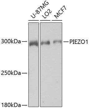 Western blot analysis of extracts of various cell lines lysates using PIEZO1 antibody