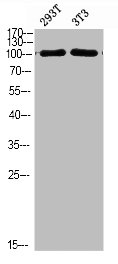 Western blot analysis of 293T 3T3 cells using PIK3C3 antibody