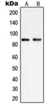 Western blot analysis of HEK293 (Lane 1), K562 (Lane 2) whole cell lysates using PIP5K1C antibody