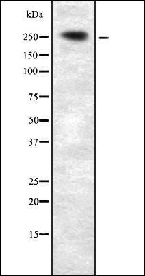 Western blot analysis of HEK293 cells using PLCE1 antibody