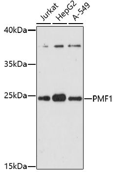 Western blot analysis of extracts of various cell lines lysates using PMF1 antibody
