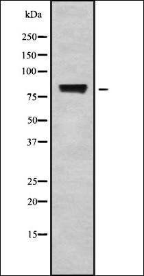 Western blot analysis of K562 whole cell lysates using POLR3E antibody