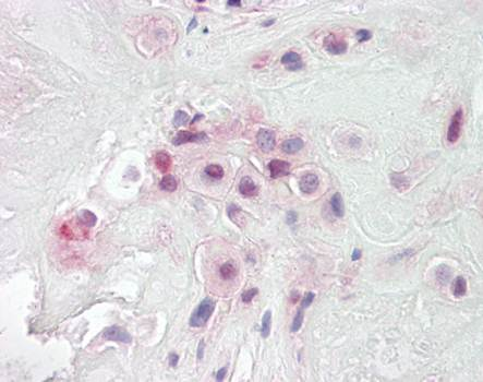 Immunohistochemical staining of paraffin embedded human placenta tissue using PON2 antibody (primary antibody at 1:200)