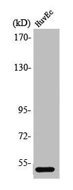 Western blot analysis of HuvEc cells using PPP2R3C antibody