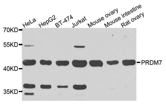 Western blot analysis of extracts of various cells using PRDM7 antibody
