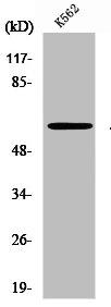 Western blot analysis of K562 cells using PRKAA1 antibody