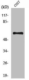 Western blot analysis of COS7 cells using PRKAA1 antibody