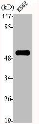 Western blot analysis of NIH-3T3 cells using PTGER4 antibody