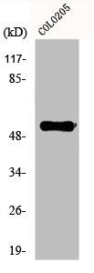 Western blot analysis of COLO205 cells using PTGER4 antibody