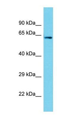 Western blot analysis of human HepG2 tissue using PTGES3L antibody