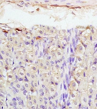 Immunohistochemical analysis of formalin fixed and paraffin embedded mouse stomach tissue using PTHrP antibody