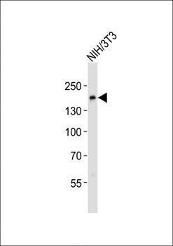 Western blot analysis of NIH/3T3 whole cell lysatesusing Ptk7 antibody (primary antibody dilution at: 1:500)