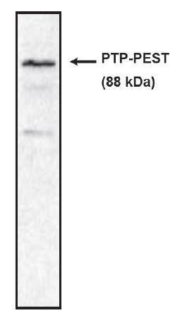 Western blot analysis of rat brain lysate using PTP PEST antibody